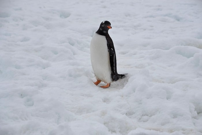 Penguin Walking in Snow Antarctic Travel Tips