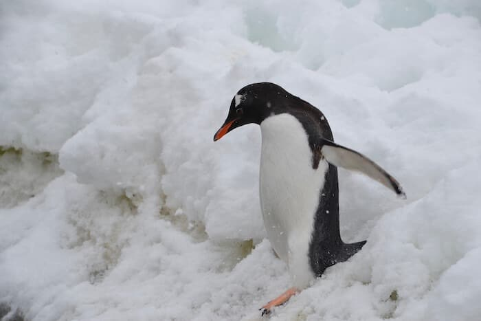 Penguin Walking in Snow Antarctica