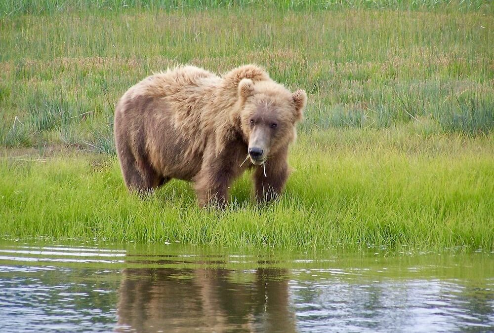Experience The Best Bear Viewing Alaska Bear Tour