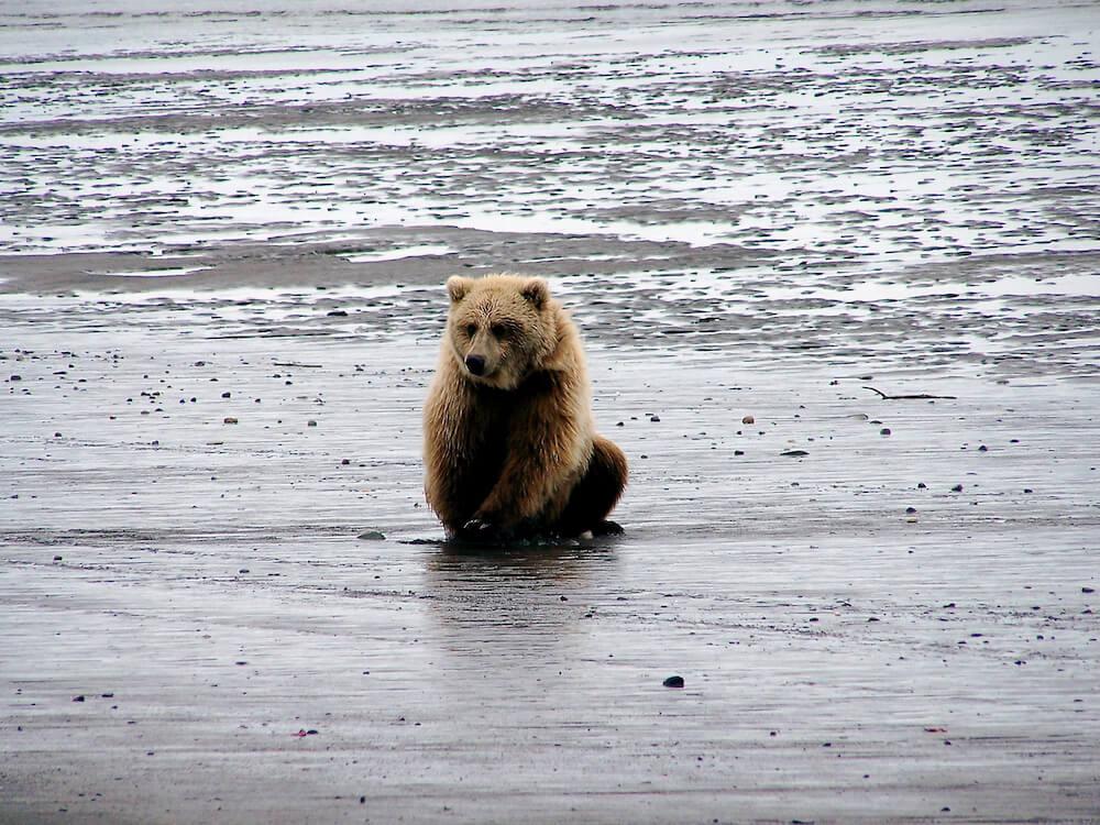 Bear Viewing Alaska Bear Tour