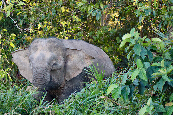 Kinabatangan River Borneo Pygmy Elephant