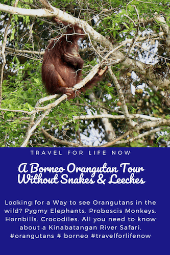 Looking for a Way to see Orangutans in the wild? Pygmy Elephants. Proboscis Monkeys. Hornbills. Crocodiles. All you need to know about a Kinabatangan River Safari. #orangutans # borneo #travelforlifenow