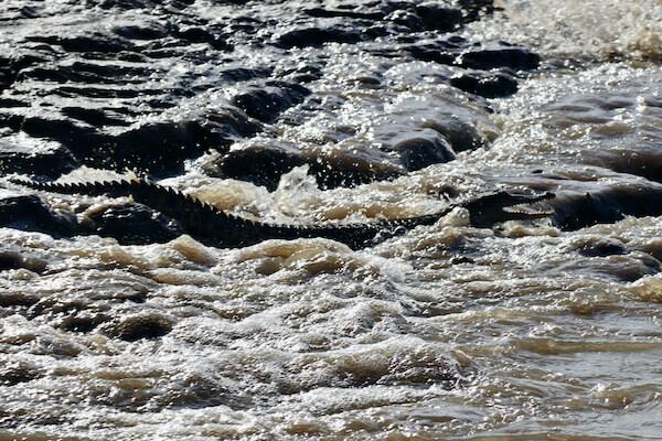 Crocodile in the Kinabatangan River