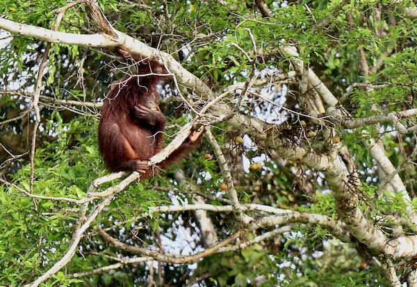 A Borneo Orangutan Tour Without Snakes & Leeches