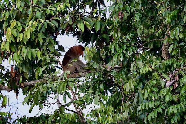 Proboscis Monkey Borneo