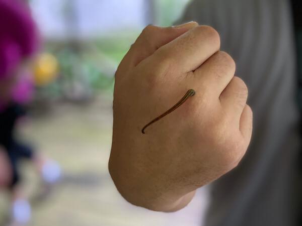 Borneo Leech