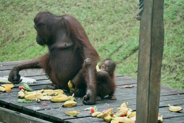 Sandakan Sabah Borneo Orangutan Rehabilitation Center